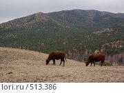 Купить «Пасущиеся коровы высоко в горах», фото № 513386, снято 15 октября 2008 г. (c) Павел Спирин / Фотобанк Лори