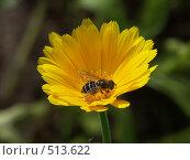 Купить «Календула, пчелка собирает нектар», фото № 513622, снято 22 августа 2004 г. (c) Сергей Бехтерев / Фотобанк Лори