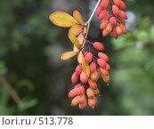 Купить «Барбарис обыкновенный, гроздь ягод», фото № 513778, снято 20 августа 2004 г. (c) Сергей Бехтерев / Фотобанк Лори