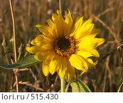 Купить «Подсолнечник в поле», фото № 515430, снято 5 сентября 2004 г. (c) Сергей Бехтерев / Фотобанк Лори
