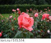 Роза в саду. Стоковое фото, фотограф Татьяна Кахилл / Фотобанк Лори