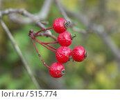 Купить «Боярышник, ягоды», фото № 515774, снято 19 октября 2004 г. (c) Сергей Бехтерев / Фотобанк Лори