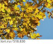 Купить «Дуб черешчатый, желтые листья на фоне голубого неба», фото № 518830, снято 19 октября 2004 г. (c) Сергей Бехтерев / Фотобанк Лори