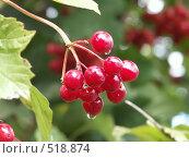 Купить «Калина обыкновенная, гроздь ягод», фото № 518874, снято 9 сентября 2004 г. (c) Сергей Бехтерев / Фотобанк Лори