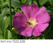 Роза морщинистая, пчелка на цветке шиповника, фото № 522226, снято 20 августа 2004 г. (c) Сергей Бехтерев / Фотобанк Лори