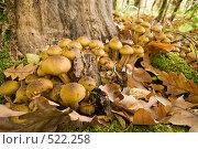 Купить «Грибы опята осенние настоящие.Опёнок осенний.Трихоломовые или рядовковые. Armillaria mellea. L.», фото № 522258, снято 23 октября 2008 г. (c) Федор Королевский / Фотобанк Лори
