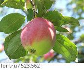 Купить «Яблоня домашняя, яблоко», фото № 523562, снято 29 августа 2004 г. (c) Сергей Бехтерев / Фотобанк Лори