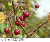 Купить «Яблоня ягодная, ранетки», фото № 523598, снято 24 сентября 2004 г. (c) Сергей Бехтерев / Фотобанк Лори