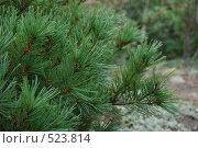 Кедровый стланик (Pinus pumila) Стоковое фото, фотограф Олеся Ефименко / Фотобанк Лори