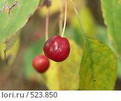 Купить «Яблоня ягодная», фото № 523850, снято 24 сентября 2004 г. (c) Сергей Бехтерев / Фотобанк Лори