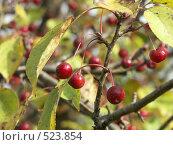 Купить «Яблоня ягодная, ранетки», фото № 523854, снято 1 октября 2004 г. (c) Сергей Бехтерев / Фотобанк Лори