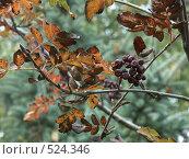 Купить «Рябина. Золотая осень», фото № 524346, снято 1 октября 2004 г. (c) Сергей Бехтерев / Фотобанк Лори