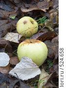 Купить «Падалица. Упавшие яблоки среди листвы», эксклюзивное фото № 524658, снято 25 октября 2008 г. (c) Александр Щепин / Фотобанк Лори