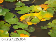 Лягушка на листьях кувшинки. Стоковое фото, фотограф Сергей Литвиненко / Фотобанк Лори