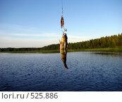 Купить «Окунь», фото № 525886, снято 11 июля 2008 г. (c) Алексей Алексеев / Фотобанк Лори