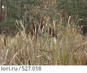 Купить «Камыши на болоте», фото № 527018, снято 27 октября 2004 г. (c) Сергей Бехтерев / Фотобанк Лори