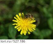 Одуванчик, пчелка собирает нектар, фото № 527186, снято 23 августа 2004 г. (c) Сергей Бехтерев / Фотобанк Лори