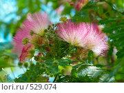 Купить «Цветы ленкоранской акации (Albizzia julibrissin)», фото № 529074, снято 29 июня 2008 г. (c) Павел Вахрушев / Фотобанк Лори