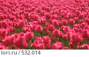 Купить «Розовые тюльпаны», фото № 532014, снято 27 мая 2007 г. (c) Сергей Богомяко / Фотобанк Лори