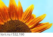 Купить «Декоративный подсолнух», фото № 532190, снято 23 августа 2008 г. (c) Юрий Брыкайло / Фотобанк Лори