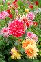 Георгины цветут, фото № 534214, снято 24 августа 2008 г. (c) Павлова Татьяна / Фотобанк Лори