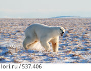 Купить «Хозяйка Арктики», фото № 537406, снято 23 октября 2008 г. (c) Максим Деминов / Фотобанк Лори