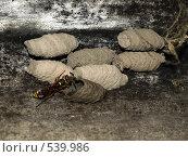 Кладка пилюльной осы (кувшинной осы) Eumenes sp. Стоковое фото, фотограф Александр Кралин / Фотобанк Лори