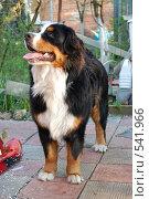 Купить «Бернский Зенненхунд», фото № 541966, снято 10 мая 2008 г. (c) Мария Шалимова / Фотобанк Лори