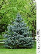 Купить «Голубая ель в  саду», фото № 542002, снято 25 апреля 2008 г. (c) Игорь Шаталов / Фотобанк Лори