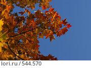 Осенняя ветка клёна на фоне синего неба. Стоковое фото, фотограф Диана Иванкова / Фотобанк Лори