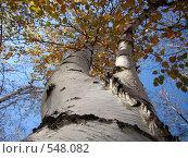 Купить «Ствол березы с уходящей вдаль кроной», фото № 548082, снято 26 октября 2008 г. (c) Алла Кригер / Фотобанк Лори