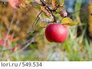 Купить «Красное яблоко на ветке», эксклюзивное фото № 549534, снято 4 октября 2008 г. (c) Александр Щепин / Фотобанк Лори