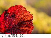 Красный осенний лист ежевики. Стоковое фото, фотограф Евгений Жминько / Фотобанк Лори