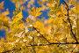 Желтые кленовые листья, фото № 552190, снято 7 ноября 2008 г. (c) Юрий Коновал / Фотобанк Лори
