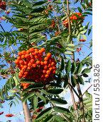 Купить «Плоды рябины на дереве на фоне неба», эксклюзивное фото № 553826, снято 29 августа 2008 г. (c) Тамара Заводскова / Фотобанк Лори