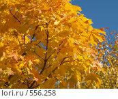 Купить «Кленовые листья», фото № 556258, снято 24 сентября 2006 г. (c) Туркин Вадим / Фотобанк Лори