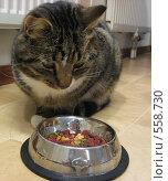 Кот размышляет над едой. Стоковое фото, фотограф Anna Marklund / Фотобанк Лори