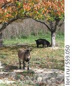 Пастбище коз. Стоковое фото, фотограф Ирина Китаева / Фотобанк Лори