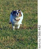 Купить «Молодой папийон», фото № 560442, снято 13 ноября 2008 г. (c) Сергей Лаврентьев / Фотобанк Лори