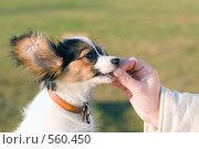 Купить «Молодой папийон тянется за лакомством», фото № 560450, снято 13 ноября 2008 г. (c) Сергей Лаврентьев / Фотобанк Лори