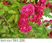 Купить «Цветы», фото № 561326, снято 8 июня 2008 г. (c) Виктор  Батавин / Фотобанк Лори