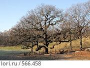 Купить «Старый дуб», фото № 566458, снято 9 ноября 2008 г. (c) Denis Kh. / Фотобанк Лори