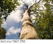 Купить «Старое дерево», фото № 567750, снято 20 июня 2007 г. (c) Туркин Вадим / Фотобанк Лори