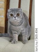 Купить «Породистый кот», эксклюзивное фото № 569494, снято 27 марта 2005 г. (c) Дмитрий Неумоин / Фотобанк Лори