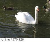 Лебедь и уточки. Стоковое фото, фотограф Ирина Китаева / Фотобанк Лори