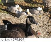Канадская казарка и горные гуси пригрелись в осенних лучах. Стоковое фото, фотограф Ирина Китаева / Фотобанк Лори