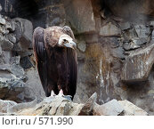 Птица санитар. Стоковое фото, фотограф vlntn / Фотобанк Лори