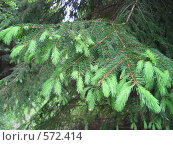 Купить «Ветки хвойного дерева», фото № 572414, снято 7 июня 2004 г. (c) Dina / Фотобанк Лори