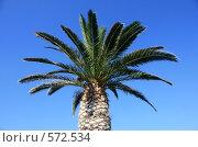 Купить «Пальма на фоне голубого неба», эксклюзивное фото № 572534, снято 3 августа 2008 г. (c) Яна Королёва / Фотобанк Лори