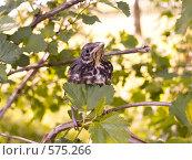 Купить «Дрозд-рябинник», фото № 575266, снято 26 мая 2007 г. (c) Туркин Вадим / Фотобанк Лори